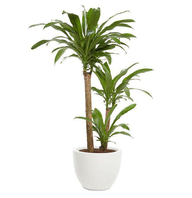 شرایط نگهداری گیاه دراسنا