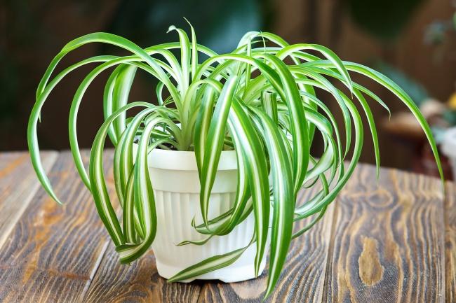 گیاه گندمی یا عنکبوتی