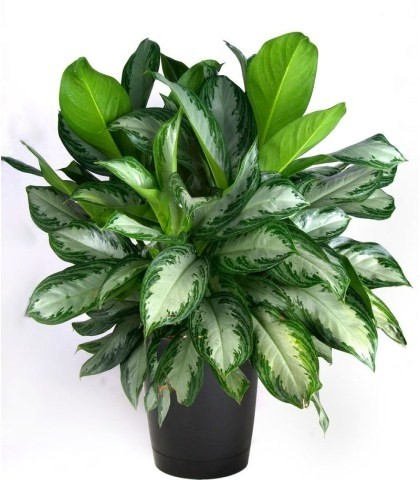 گیاه آگلونما سبز