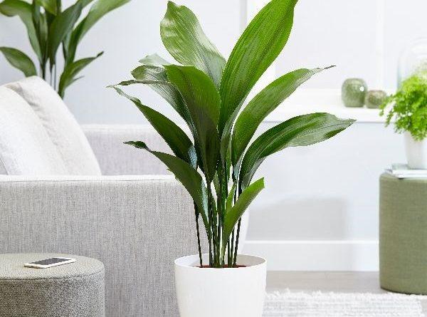 گیاه برگ عبایی