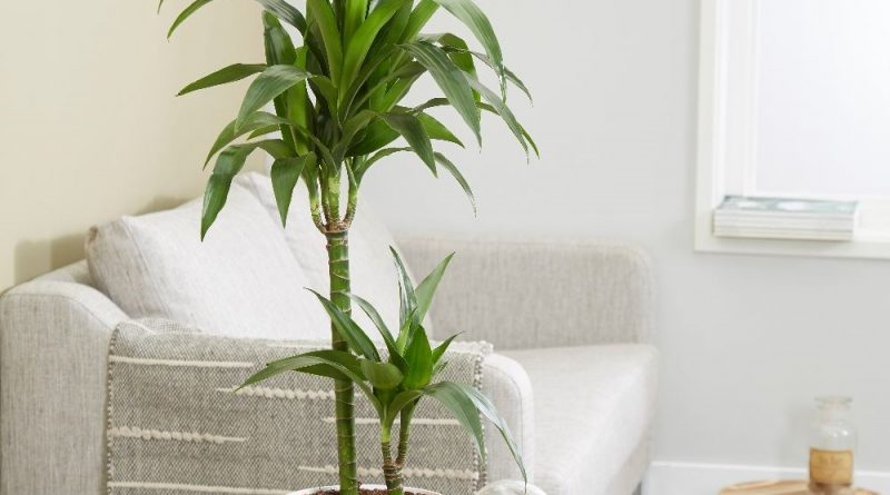 گیاه آپارتمانی دراسنا