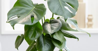 گیاه برگ انجیری یا پنجه شیری