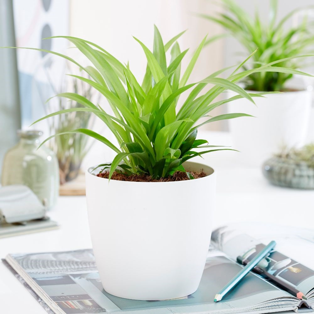 گیاه آپارتمانی گندمی یا عنکبوتی