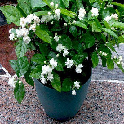 نگهداری گل یاس رازقی در خانه