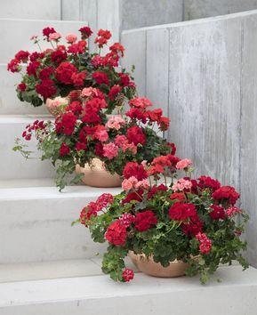 نگهداری گل شمعدانی در آپارتمان