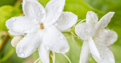 نگهداری گل یاس رازقی در آپارتمان