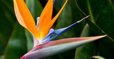 گل پرنده بهشتی یا مرغ بهشتی