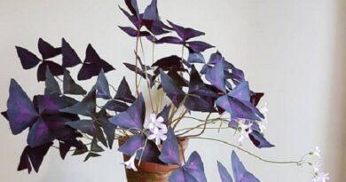 نگهداری گل اگزالیس یا اکسالیس