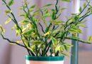 نگهداری گیاه پدیلانتوس