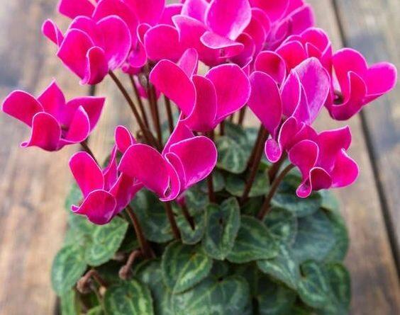 تکثیر و نگهداری گل سیکلامن