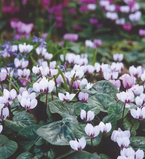 علت زردشدن برگهای گل سیکلامن