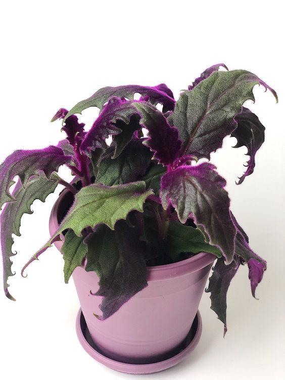 پرورش گل ژینورا یا مخملی بنفش یا گینورا ،شب تاب ،
