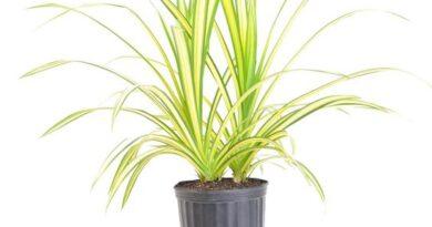 نگهداری و پرورش گیاه پاندانوس