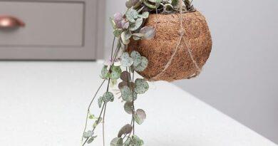 نگهداری گیاه سروپژیا