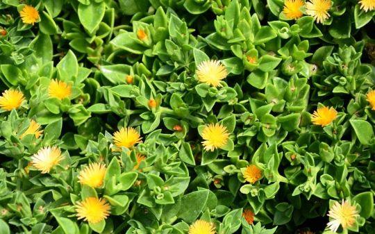 انواع گل ناز یخی