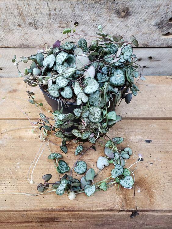 گل طبیعی سروپژیا