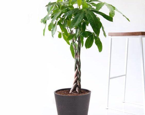 نگهداری گیاه پاچیرا