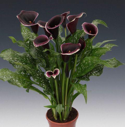 خواص گل شیپوری وحشی