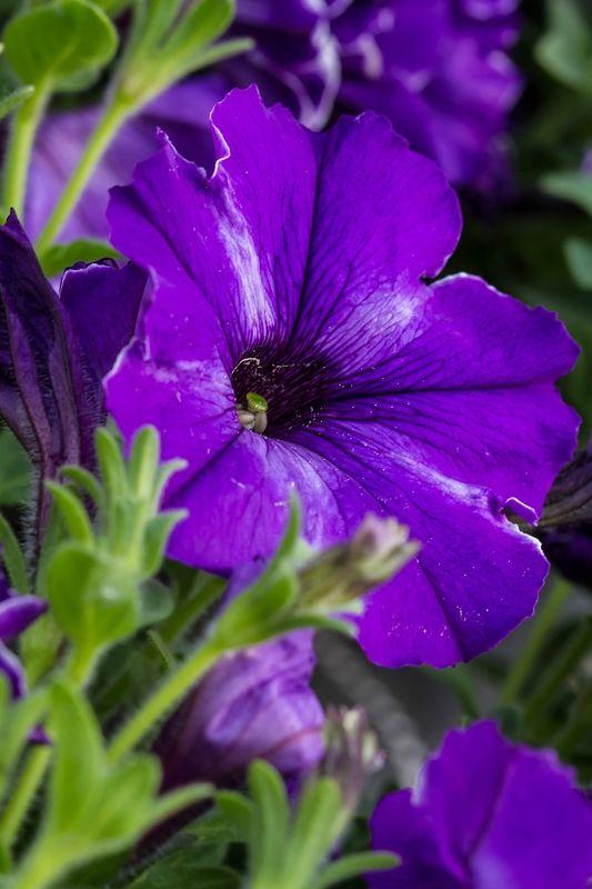 گل اطلسی بنفش،تکثیر گل اطلسی