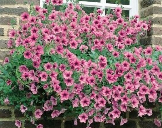 اصول نگهداری و پرورش گل اطلسی