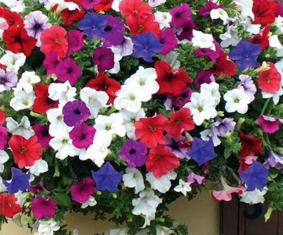 گل اطلسی آبی سفید قرمز