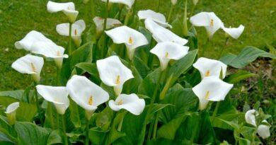 شرایط نگهداری گل شیپوری در آپارتمان