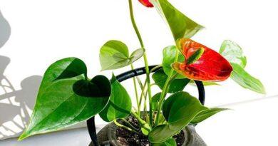 نگهداری گل آنتوریوم