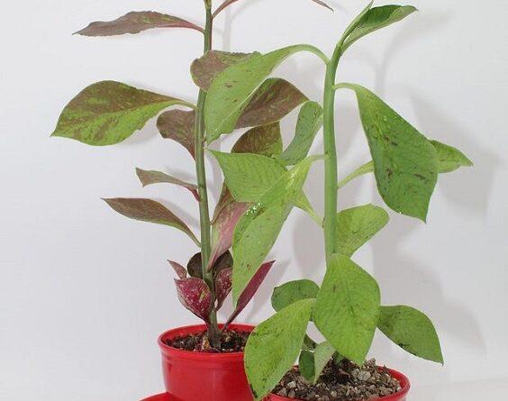 نگهداری گیاه فردوس یا سینادنیوم