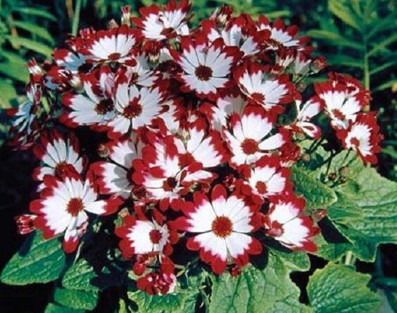 نگهداری و تکثیر گل سینره یا سینرر