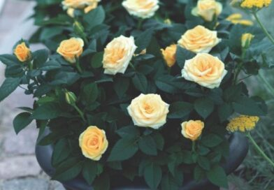 نگهداری گل ساناز