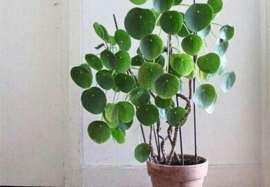 نگهداری گیاه پول چینی