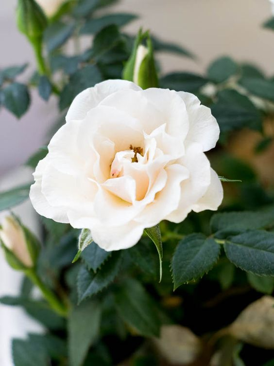 گل رز مینیاتوری یا ساناز